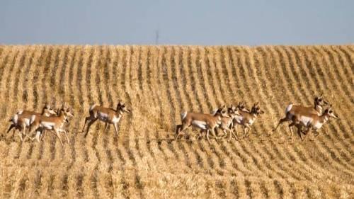 pronghorn+antelope+on+the+Prairies
