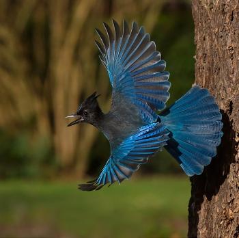 Stellar Jay squawking