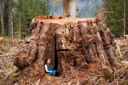 Cut Cedar Stump