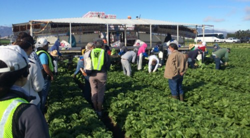 Harvesting Romaine Lettuce in Salinas, California