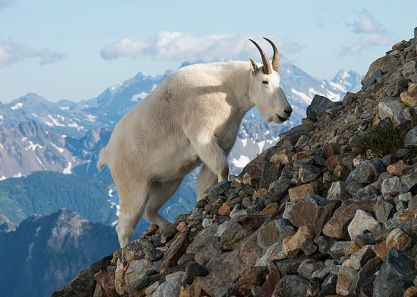 mountain_goat_