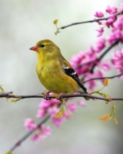 female-goldfinch