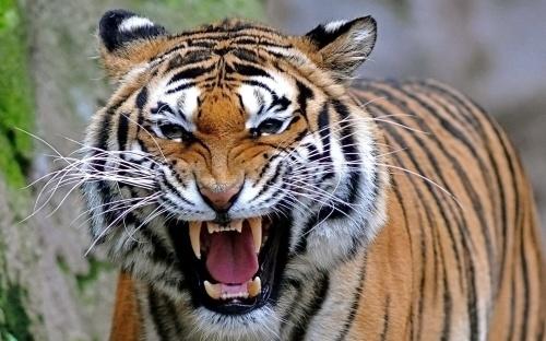tiger rage.jpg