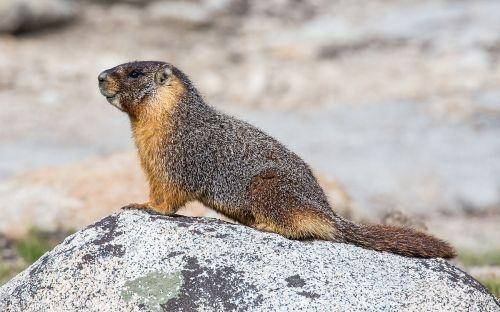 Marmot on rock.jpg