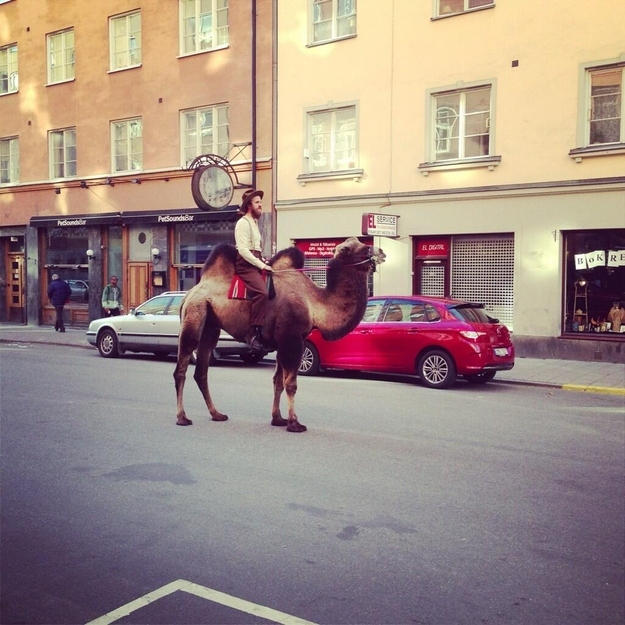 camel in town