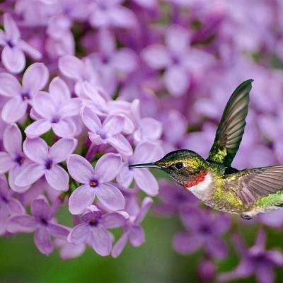 hummingbird and lilac